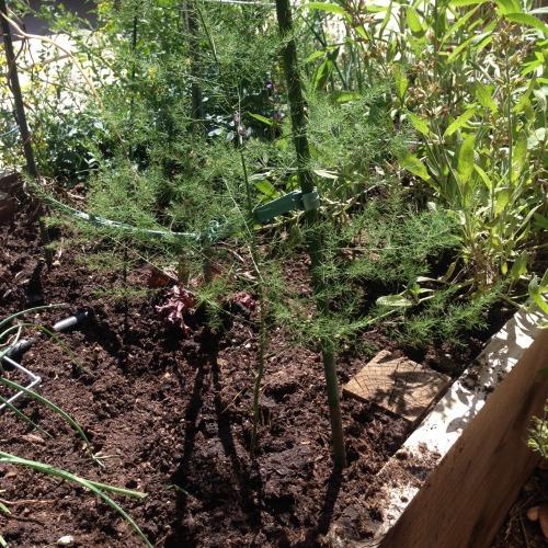 asparagus growing in garden 1 500