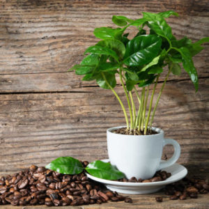 Coffee plant in coffee cup on rustic wooden background